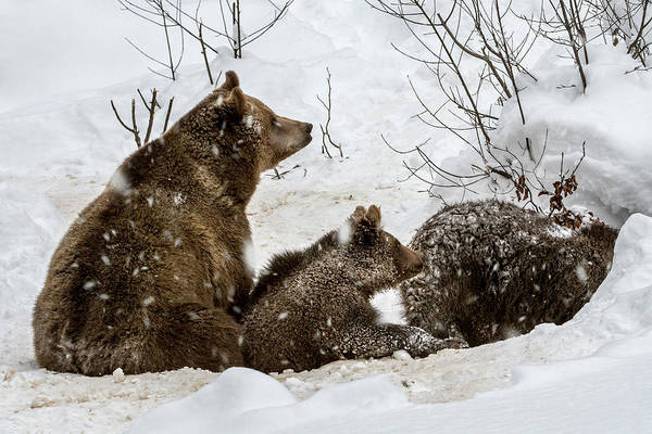 Photograph - Brown Bear With Cubs Entering Den by Arterra Picture Library