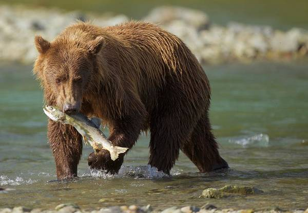 Photograph - Brown Bear With Salmon by Brian Magnier