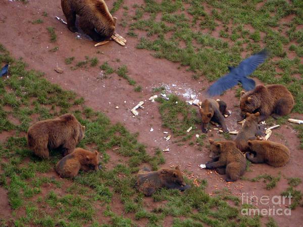 Photograph - Brown Bears At Cabarceno by Phil Banks