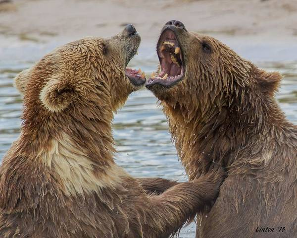 Photograph - Brown Bears4 by Larry Linton