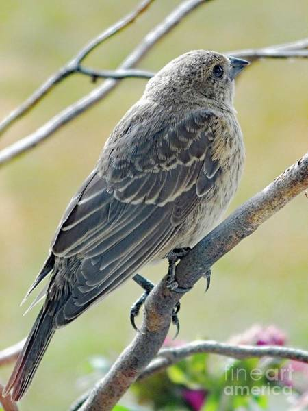 Molothrus Ater Photograph - Brown Beauty - Immature Cowbird by Cindy Treger