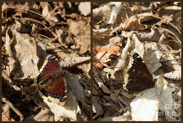 Photograph - Morning Cloak Butterfly by Les Palenik