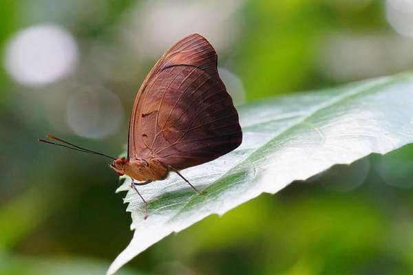 Photograph - Brown Butterfly by Mike Murdock