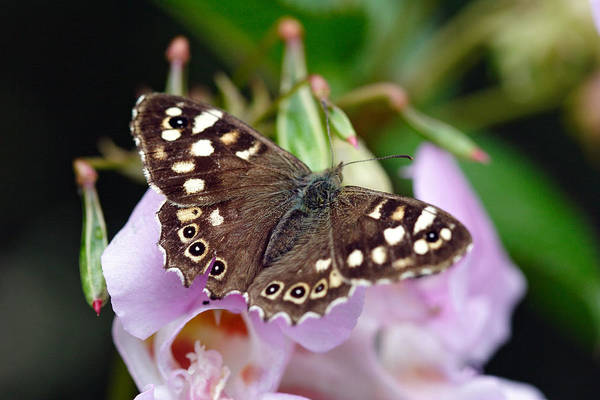 Photograph - Brown Butterfly by Pierre Leclerc Photography