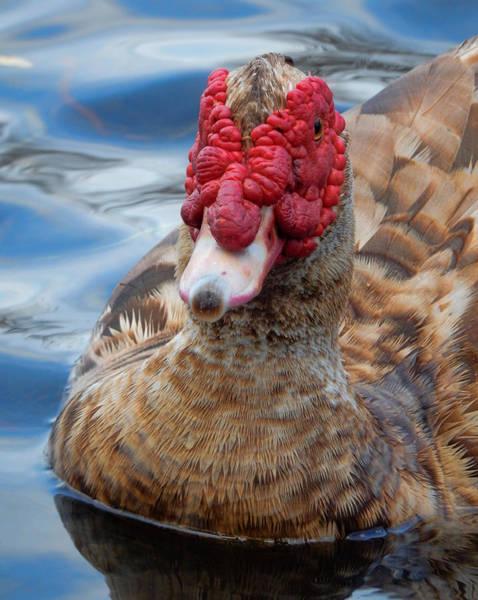 Photograph - Brown Duck Swimming by Pamela Walton