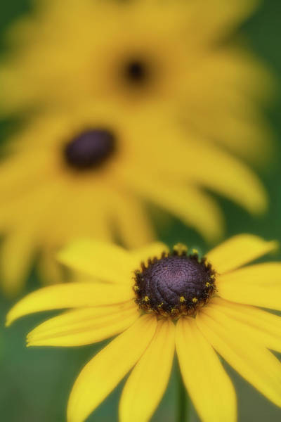 Photograph - Brown Eyed Susan by Bob Cournoyer
