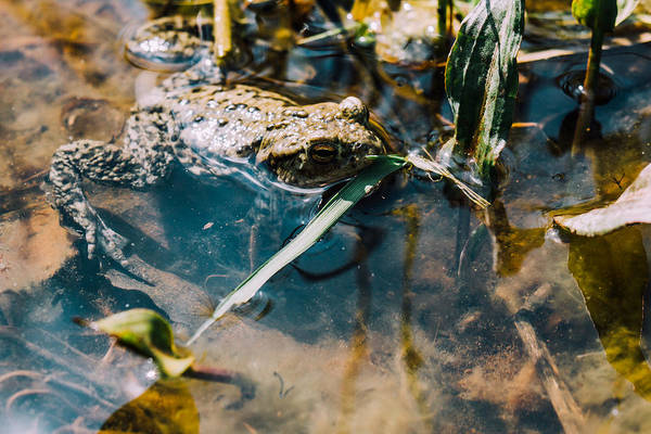 Wall Art - Photograph - Brown Frog In Water by Pati Photography