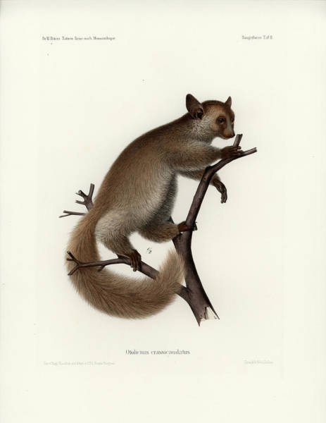 Art Print featuring the drawing Brown Greater Galago Or Thick-tailed Bushbaby by Hugo Troschel and J D L Franz Wagner