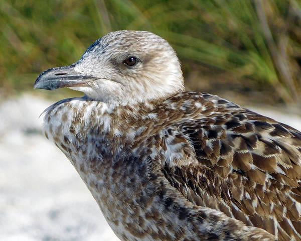 Photograph - Brown Gull At Wiggins Pass by Robb Stan