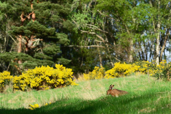 Photograph - Brown Hare by Gavin MacRae