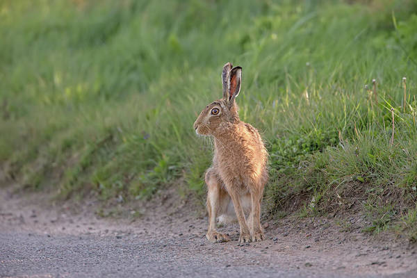 Photograph - Brown Hare Listening by Peter Walkden
