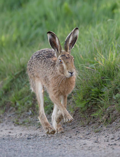 Photograph - Brown Hare Lolloping by Peter Walkden