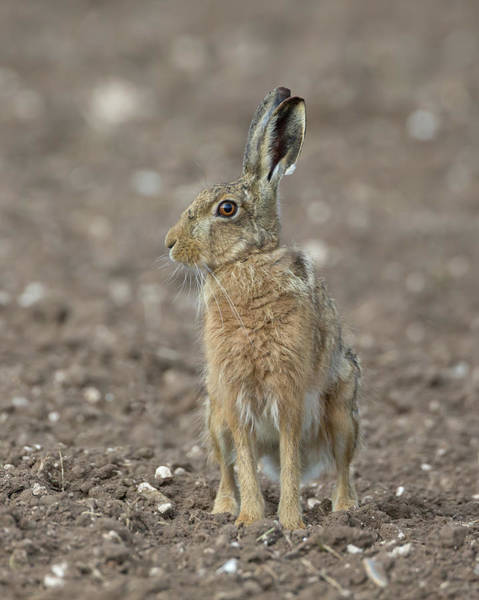 Photograph - Brown Hare On Ploughed Field by Peter Walkden