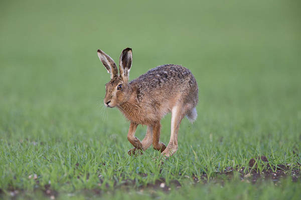 Photograph - Brown Hare Running by Peter Walkden