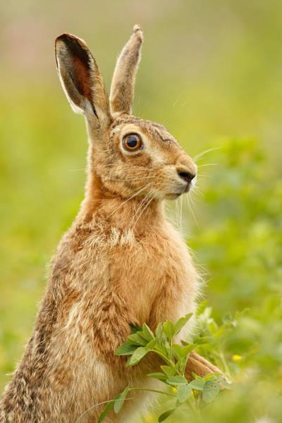 Photograph - Brown Hare by Simon Litten