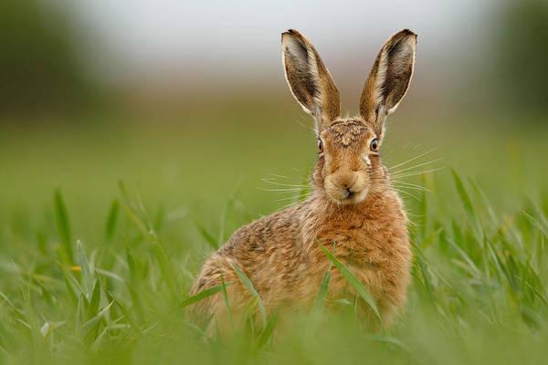 Photograph - Brown Hare Stare by Simon Litten