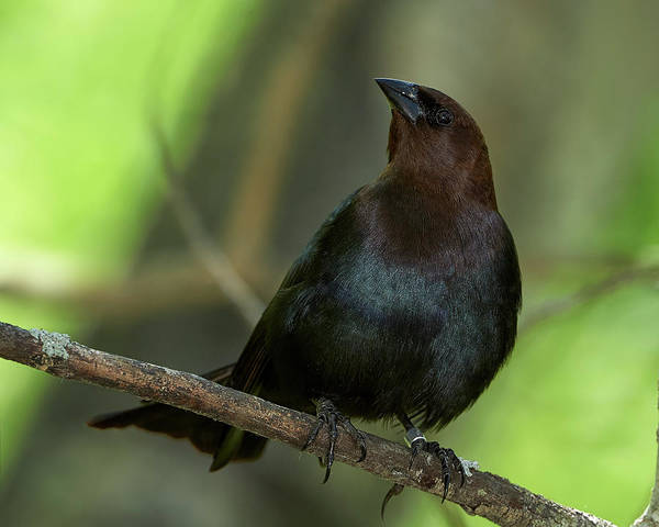 Molothrus Ater Photograph - Brown-headed Cowbird - Beaverhill Bird Observatory by Jestephotography Ltd