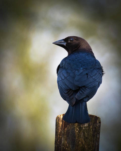 Photograph - Brown-headed Cowbird by John Benedict