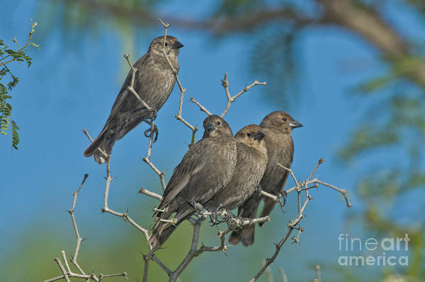 Molothrus Ater Photograph - Brown-headed Cowbirds by Anthony Mercieca