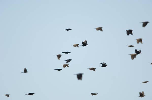 Cowbird Photograph - Brown-headed Cowbirds In Eastern by Joel Sartore
