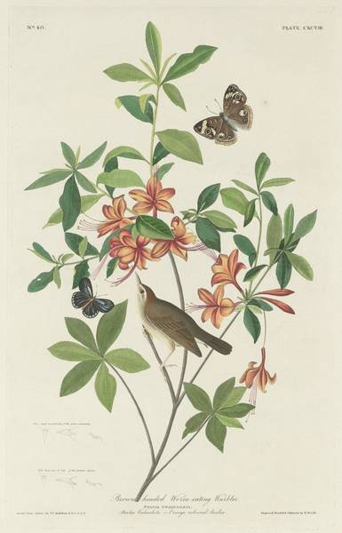 Wall Art - Drawing - Brown-headed Worm-eating Warbler by Dreyer Wildlife Print Collections