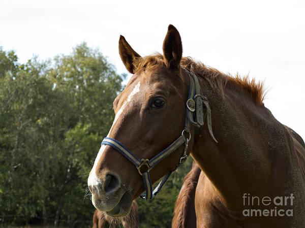 Wall Art - Photograph - Brown Horse - Detail Of Head by Michal Boubin