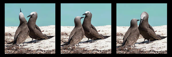 Photograph - Brown Noddy Courtship by Dawn Currie