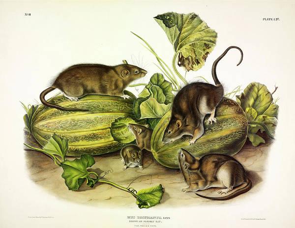 Norway Painting - Brown, Or Norway, Rat by John James Audubon