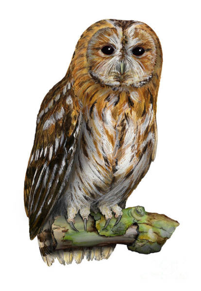 Painting - Brown Owl Or Eurasian Tawny Owl  Strix Aluco - Chouette Hulotte - Carabo Comun -  Nationalpark Eifel by Urft Valley Art