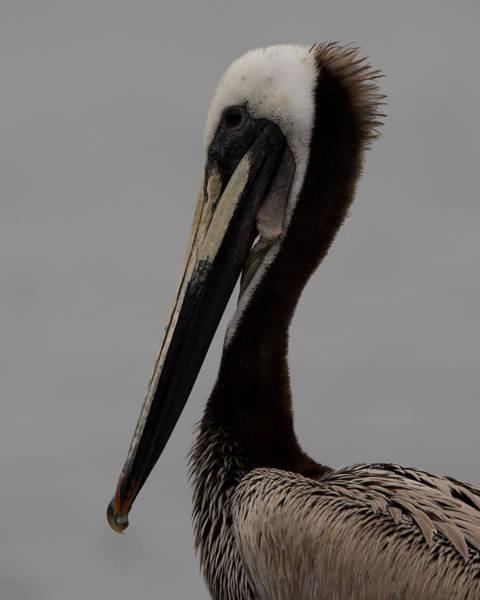 California Brown Pelican Photograph - Brown Pelican 10 by Ernie Echols