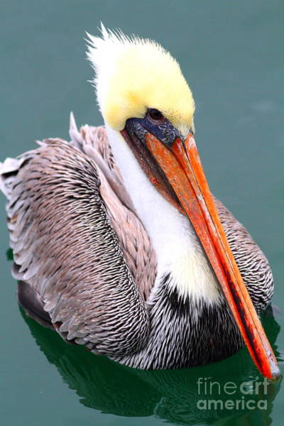 Photograph - Brown Pelican . 7d8291 by Wingsdomain Art and Photography