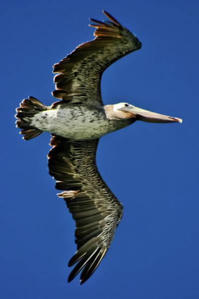 Photograph - Brown Pelican by Albert Seger