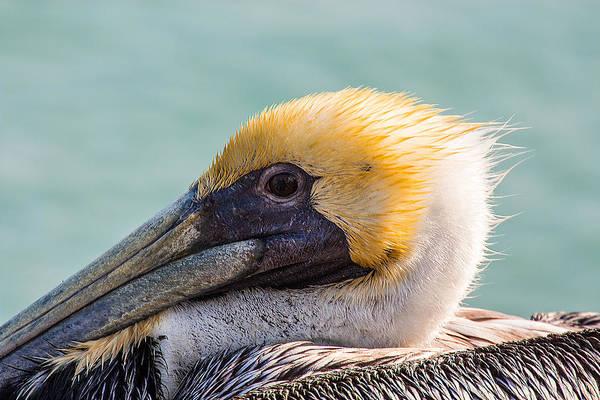 Photograph - Brown Pelican Closeup 2 by Richard Goldman