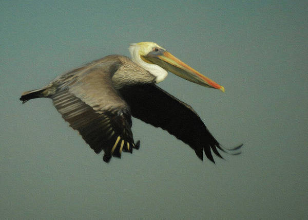 Shore Bird Digital Art - Brown Pelican Da4 by Ernie Echols