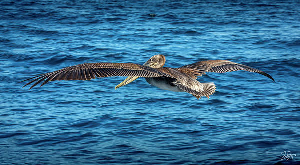 Photograph - Brown Pelican by Endre Balogh