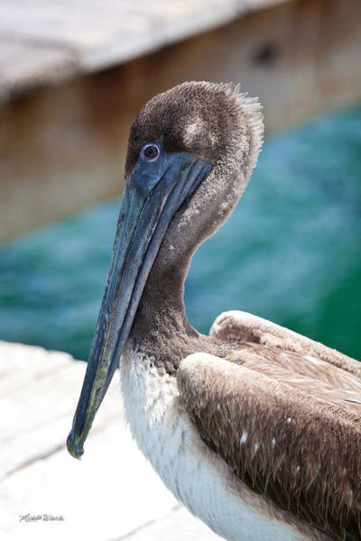 Photograph - Brown Pelican Friend by Michelle Constantine