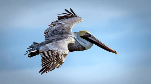 Photograph - Brown Pelican In Flight #1 by Van Sutherland