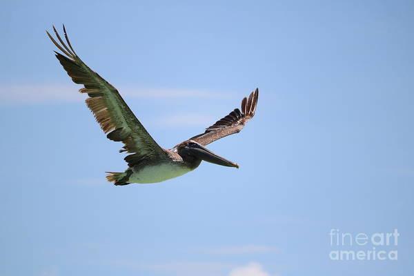 Wall Art - Photograph - Brown Pelican In Flight by Carol Groenen