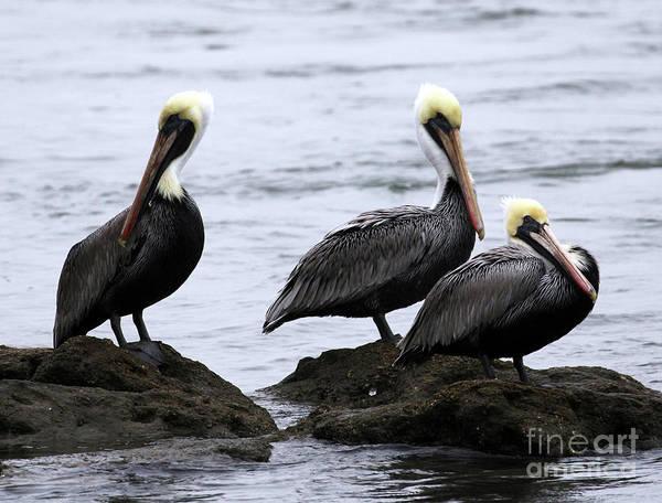 Photograph - Brown Pelican by Jennifer Robin
