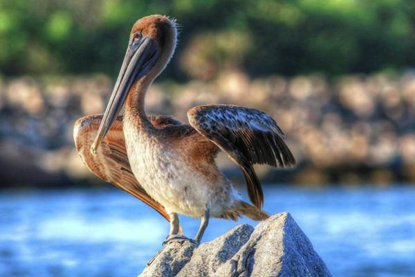 Photograph - Brown Pelican Of Sebastian State Park by Carol Montoya