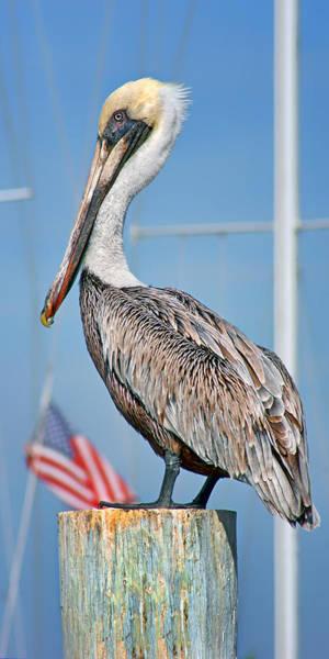Gular Photograph - Brown Pelican On Wharf - American Flag by Nikolyn McDonald