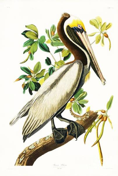 Audubon Painting - Brown Pelican by Pg Reproductions