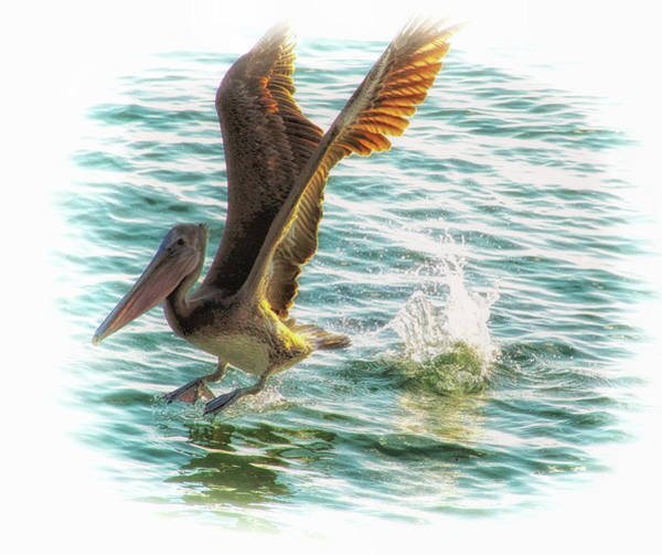 Photograph - Brown Pelican Plunge  by Ola Allen
