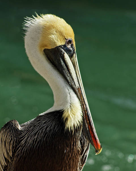 Photograph - Brown Pelican Portrait by Dawn Currie