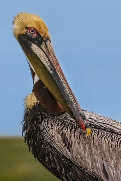 Photograph - Brown Pelican Portrait by Susan Candelario