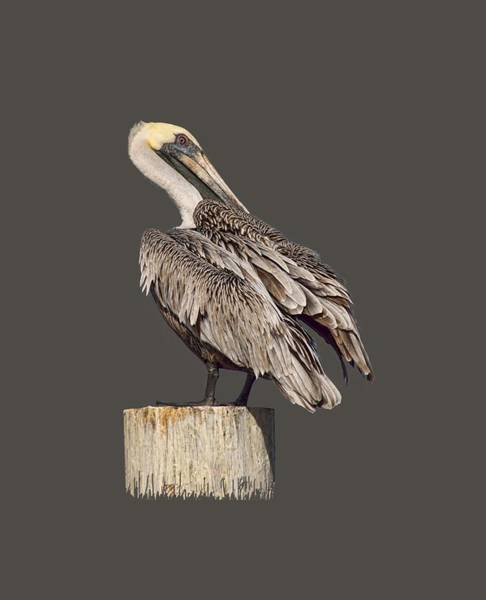 Gular Photograph - Brown Pelican - Preening - Transparent by Nikolyn McDonald