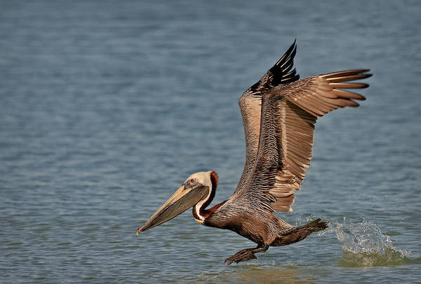 Photograph - Brown Pelican Take Off by Susan Candelario