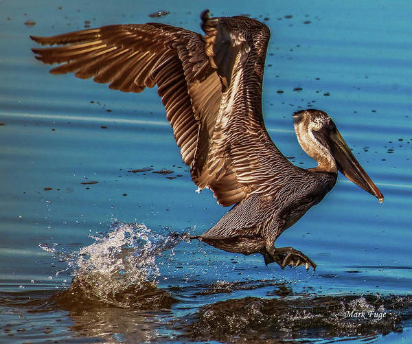 Pelican Island National Wildlife Refuge Wall Art - Photograph - Brown Pelican Takes Flight - 1 by Mark Fuge