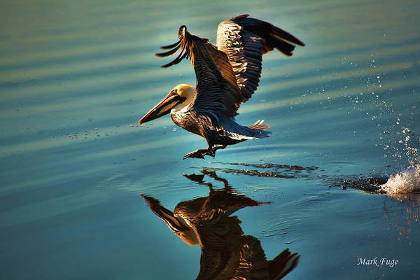 Pelican Island National Wildlife Refuge Wall Art - Photograph - Brown Pelican Takes Flight by Mark Fuge