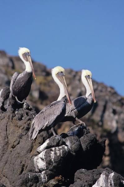 Brown Pelican Trio  Art Print